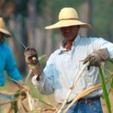 Nouveaux labels Fairtrade « Filières » : enjeux et impacts pour la filière Bio