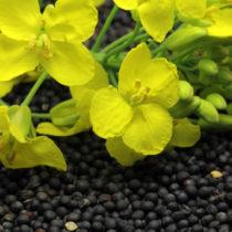 Les protéines de graines de colza autorisées comme nouvel ingrédient