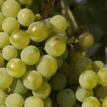 Levures inactivées et autolysats INTERDITS en vinification bio