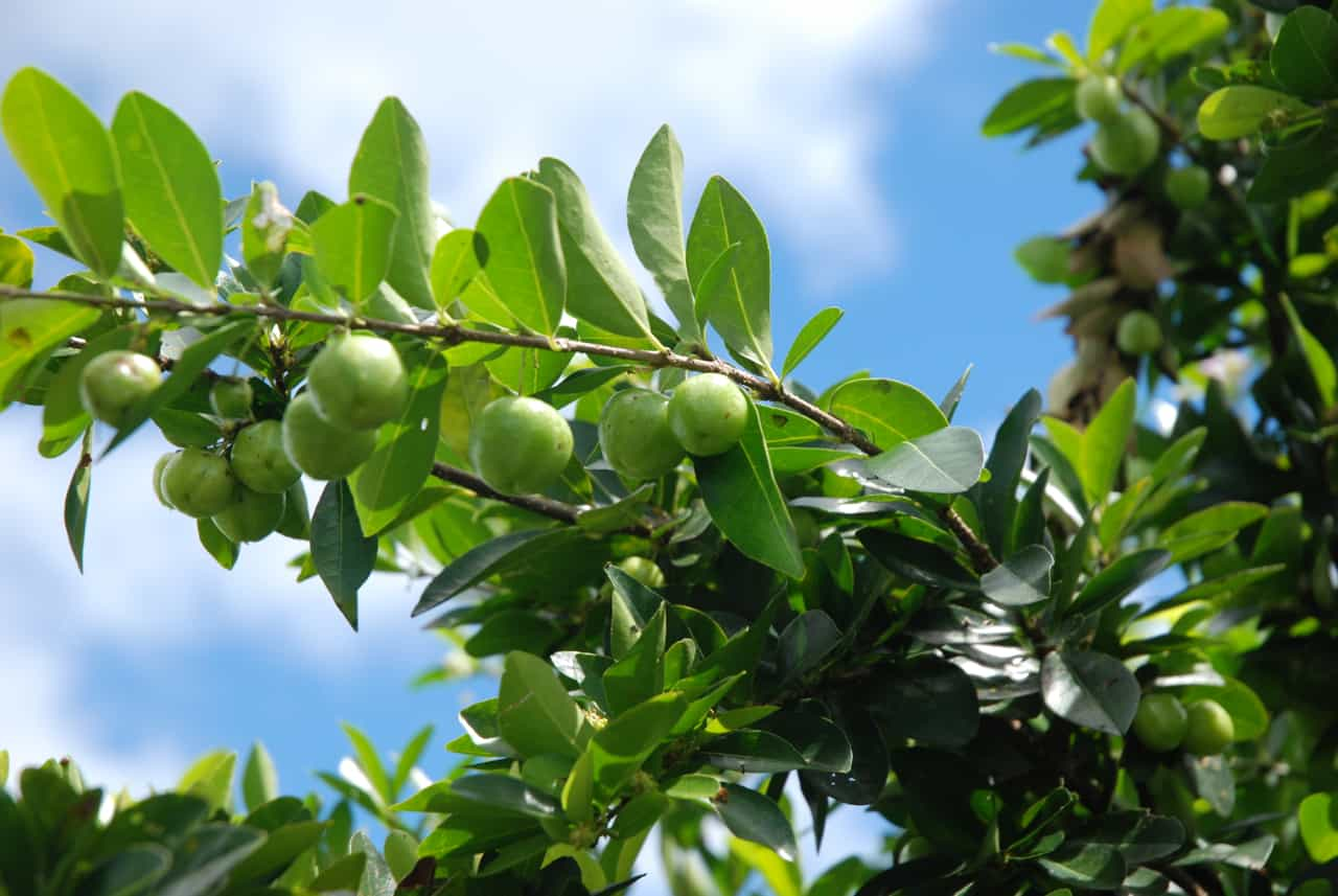 Un acérola vert déshydraté plus riche en vitamine C