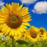 Actibio annonce le retour de la lécithine de tournesol biologique
