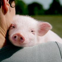 Maltraitance animale dans les abattoirs : le SYNABIO se pourvoit en justice