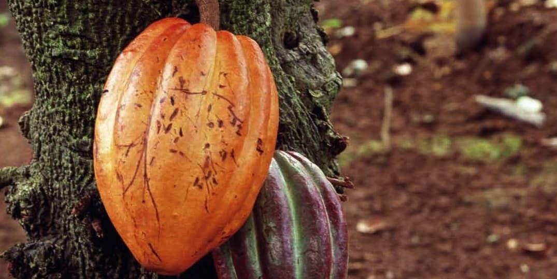 Le cacao bio et équitable, la solution pour une filière durable ?