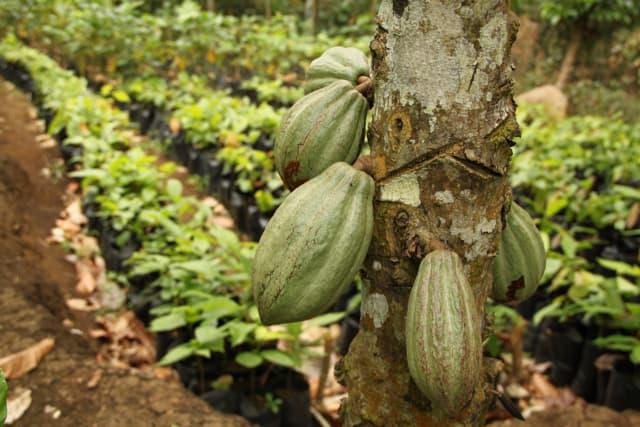 V- Cacao équitable et/ou bio : des impacts qui peuvent être significatifs, sous certaines conditions