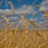 I- Bilan des cultures céréalières bio en France