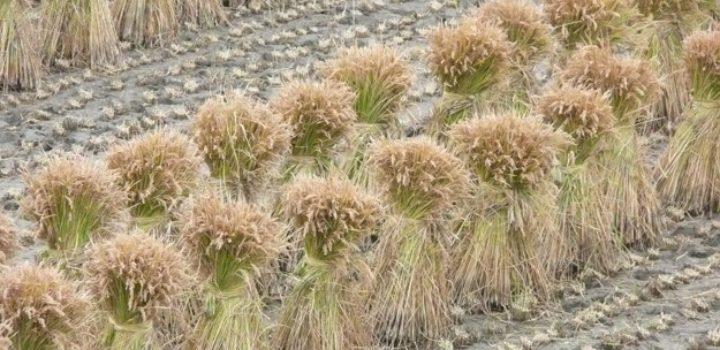 RicePro® NG Bio, la nouvelle protéine végétale disponible chez SEAH International