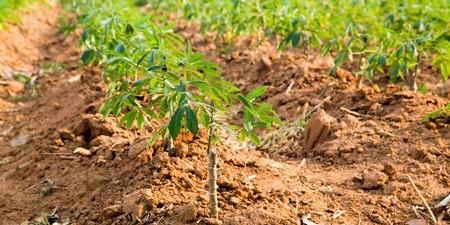 I- De la matière première végétale à l'amidon bio