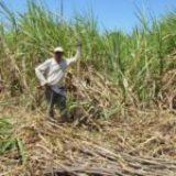 II- De l'Amérique Latine à l'Europe : quelles filières d'approvisionnement pour les sucres bio ?