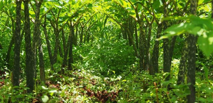 Le seul ingrédient avec une allégation pour la gestion du poids disponible en bio : le Konjac Bio