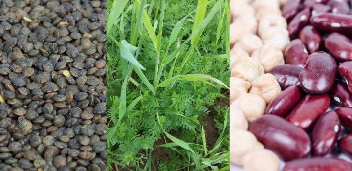 Les légumes secs en France : quel marché et quelles perspectives pour la bio?