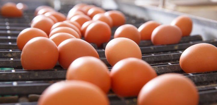 Filière œufs bio : répondre à la demande en conservant les principes de la bio