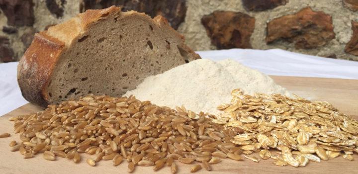 Les blés anciens : une réponse aux problèmes nutritionnels et environnementaux ?