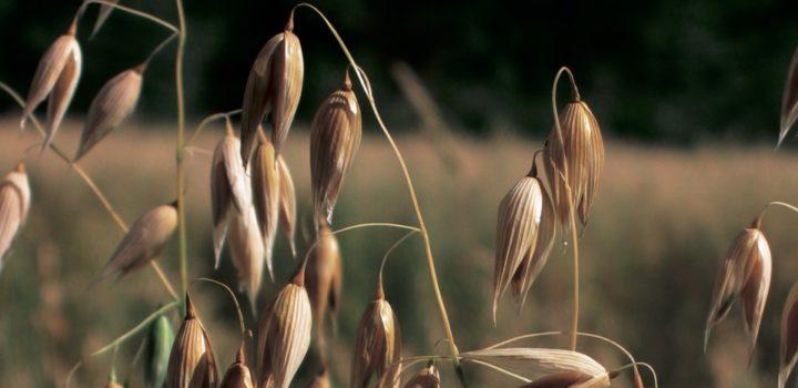 Meurens Natural lance un nouvel extrait d'avoine biologique