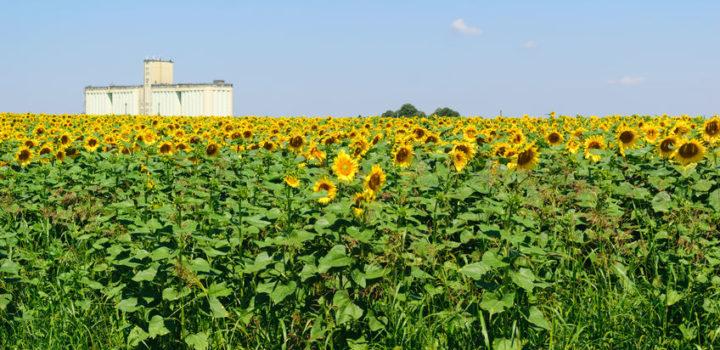 Une nouvelle coopérative d'envergure pour les céréales et légumineuses bio