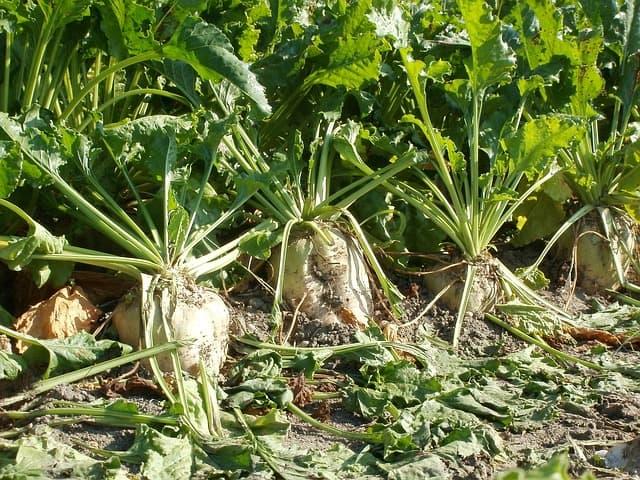 Les nouvelles filières de betterave à sucre bio françaises