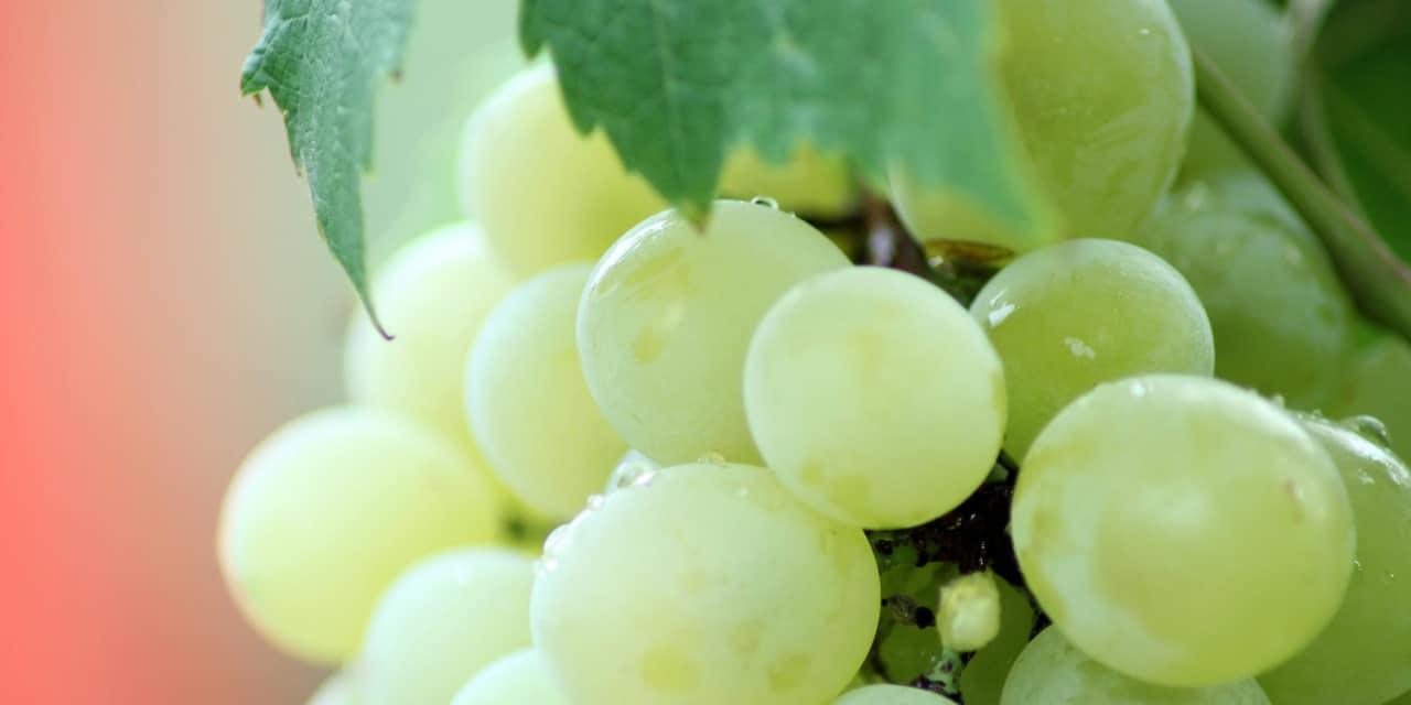 Un nouvel extrait de pépins de raisin bio titré dans la gamme Grap'Inside™