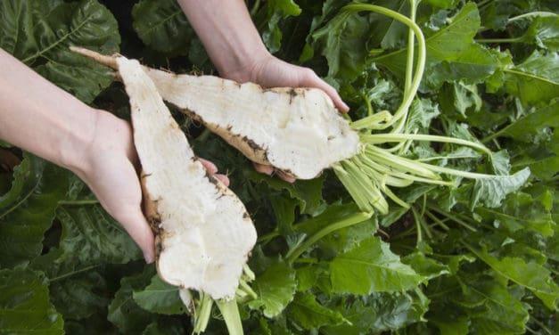 TEREOS annonce sa 1ère campagne de sucre de betteraves Bio en France