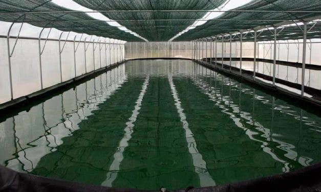 Spiruline bio : en attente d'un cahier des charges plus écologique