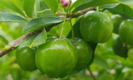 L'Acérola vert BIO de RDV Products préserve la forêt