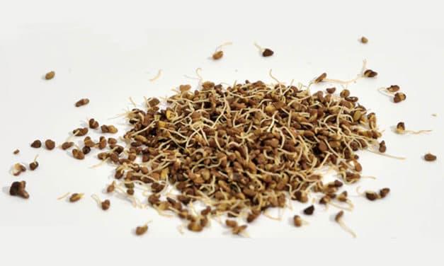 Céréales et graines germées : Une plus-value nutritionnelle et pour la santé ?