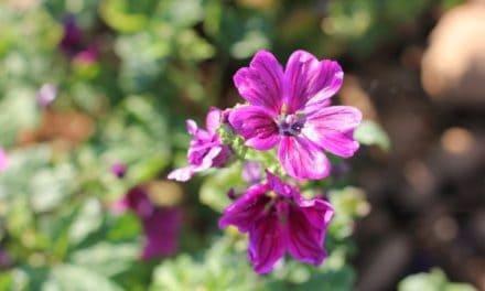 La mauve bio française, nouvelle récolte pour Elixens