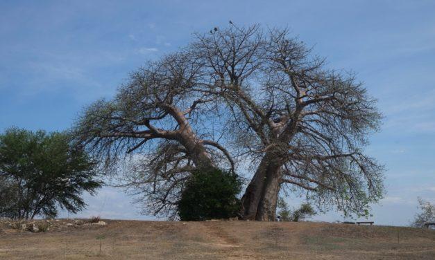 Filière baobab, émergence timide entre alimentaire et cosmétique