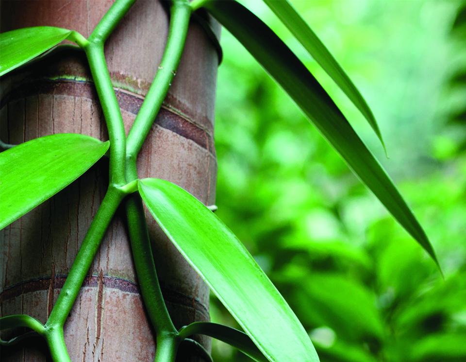 Un plant de vanille biologique