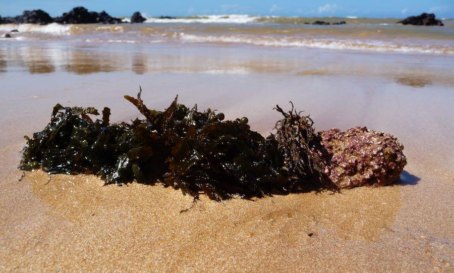 La poudre d'algue calcaire d'Esenco certifiée biologique