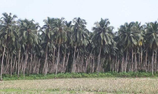 La croissance des nouveaux ingrédients de la coco mettra-t-elle en péril la durabilité de cette filière ?