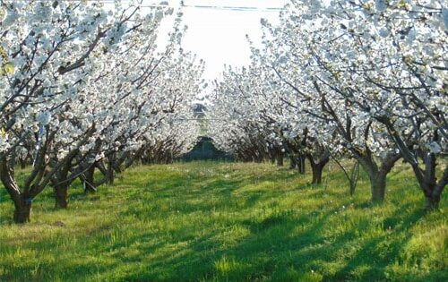 Vergers de cerisiers en fleurs. - © Mas des Issarts