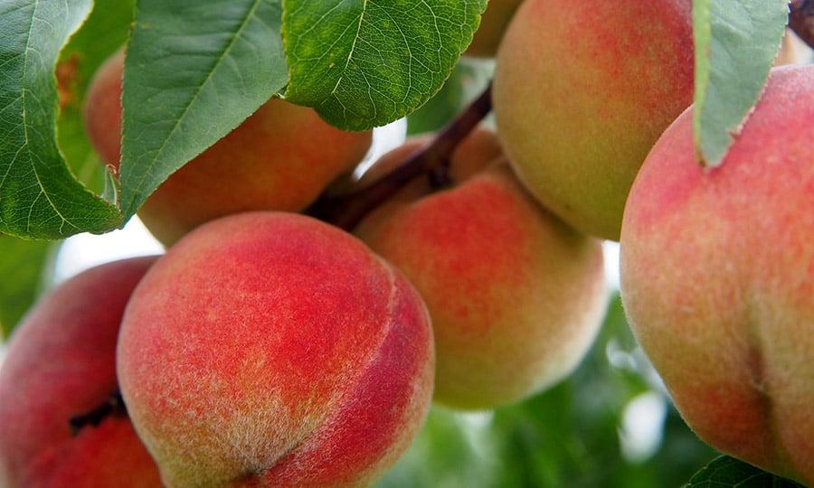 Fruits à noyau bio, une filière technique, des volumes absorbés par le marché du frais