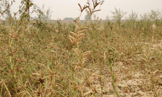 Guar: une graine à potentiel